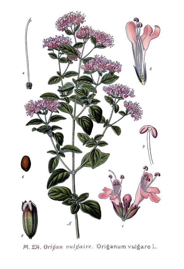 antique botanical print of oregano featuring parts of the herb